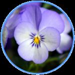 Wirkstoff Viola Tricolor